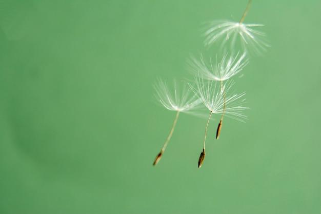 タンポポの種は繊細な色合いで閉じます。緑の背景にタンポポの種子を飛んでいます。コピースペース
