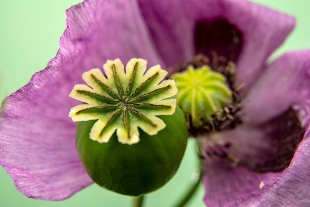 緑の自然な花の紫のポピーとポピーボックス