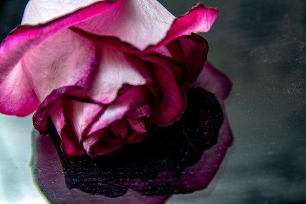 Розовая роза цветет. лепестки роз. естественный фон яркие розы. крупным планом макросъемки. розовая роза крупным планом розовые розы.