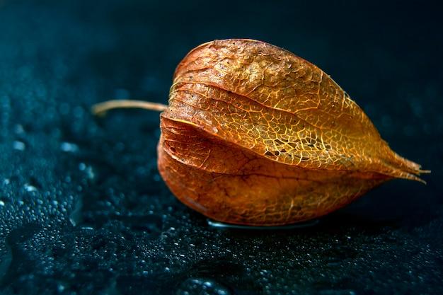 明るく鮮やかな反射と黒の背景に水の滴を秋のサイサリスの明るいオレンジ色の花