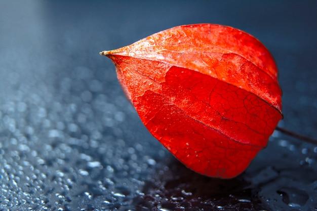 明るいオレンジ色のホオズキ/水滴のホオズキ