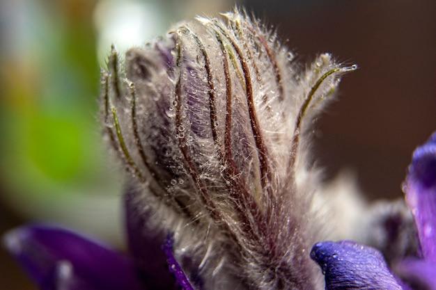 スノードロップの最初の芽。スノードロップのマクロ写真