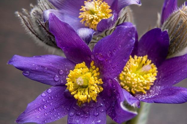 スノードロップの花束-明るい無地の背景の最初の春の花。春の訪れを象徴する花。大きい