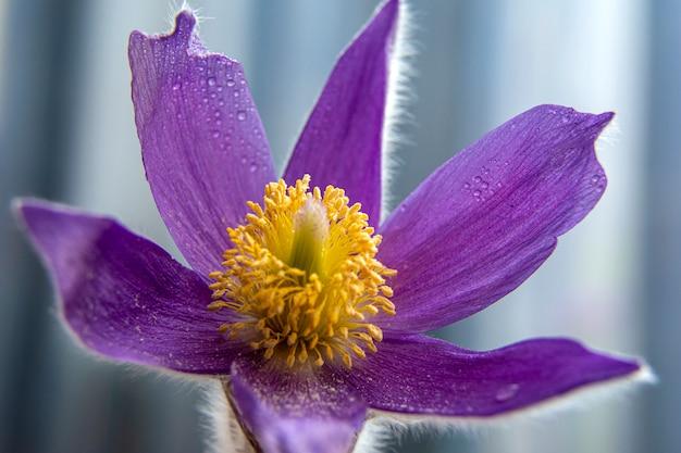 スノードロップの春の花。最初の春の花。花の背景。写真をフラッシュします。水滴
