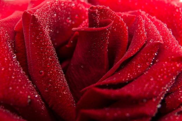 水滴で濡れた濃い赤いバラ。花の背景。休日のコンセプト