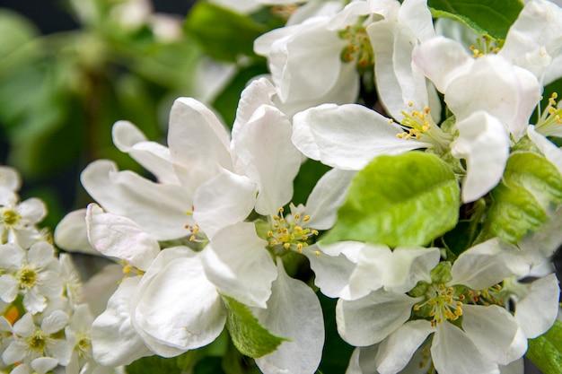 Красивый цветущий яблоневый сад