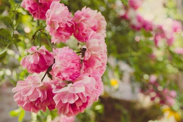 Розовая роза крупным планом в саду весной
