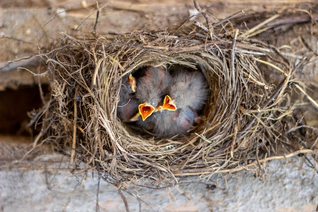 食べ物を求めて巣の中のひよこ。