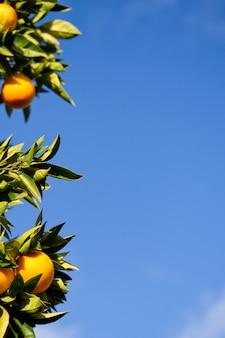 空とオレンジの木