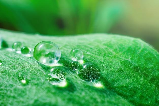 Зеленый лист растения с большими каплями росы на нем. макро фото.