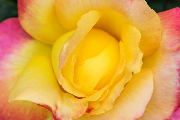 黄色のピンクのバラのクローズアップ