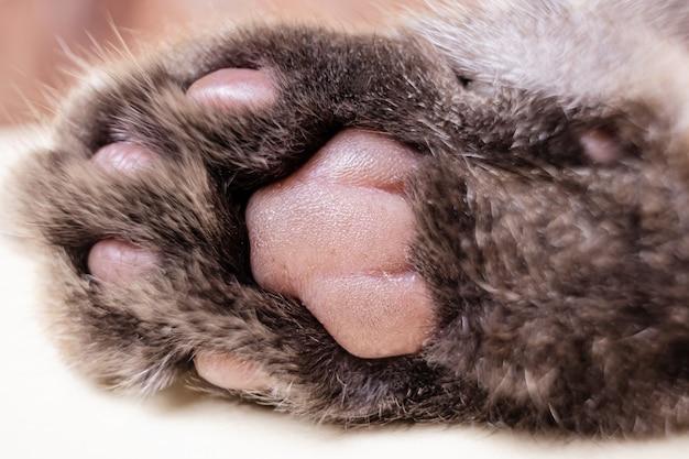 Серая кошачья лапа крупным планом. подушечки пальцев. макро фото.
