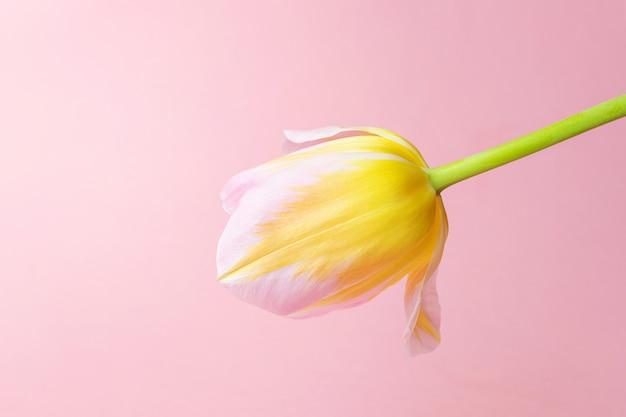 ピンク黄色のチューリップ。休日、お祝い、女性の日、春の概念。ミニマリズム、平置き。バナー、ポストカードに適しています。コピースペース。