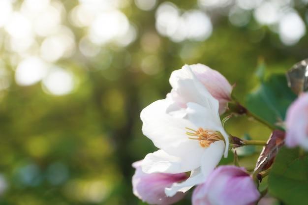 Бело-розовые цветы яблони распускаются на ветке