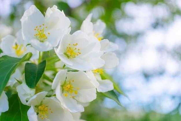 Белые цветы яблони цветут на ветке