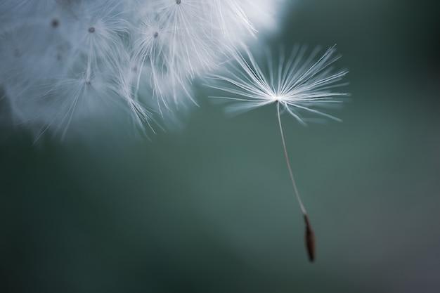 花のタンポポの種