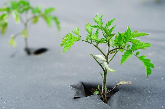 黒で覆われた庭のベッドの上のトマトの芽