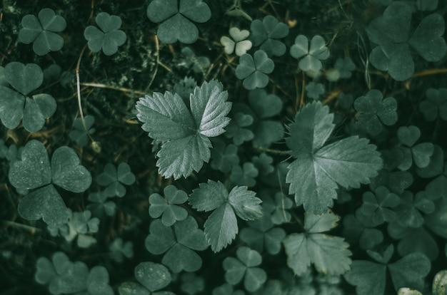 野生のイチゴの緑の葉。トップビュー、背景、暗い光。