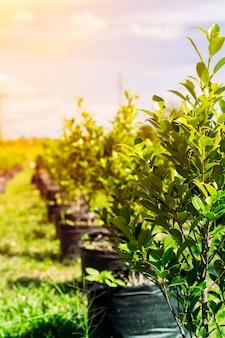 Зеленое дерево питомник