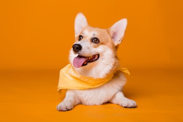 Собака породы корги в желтой бандане на оранжевой