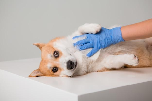 獣医は医療用手袋でコーギー犬を調べます