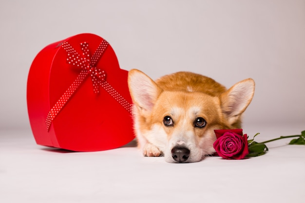 赤いハート型のギフトボックスと白い壁に赤いバラのコーギー犬