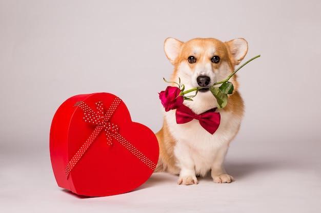 Собака корги с красной подарочной коробкой в форме сердца и красной розой на белой стене
