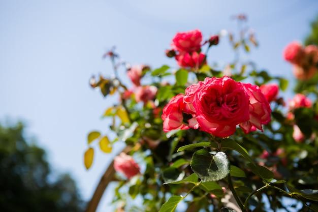 Цветущий розарий летом. арка из роз. ботанический сад, батуми, грузия