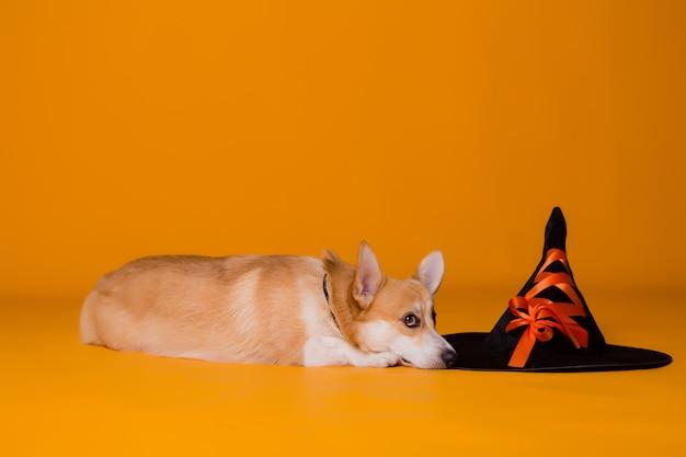 ハロウィーンの衣装でコーギー犬