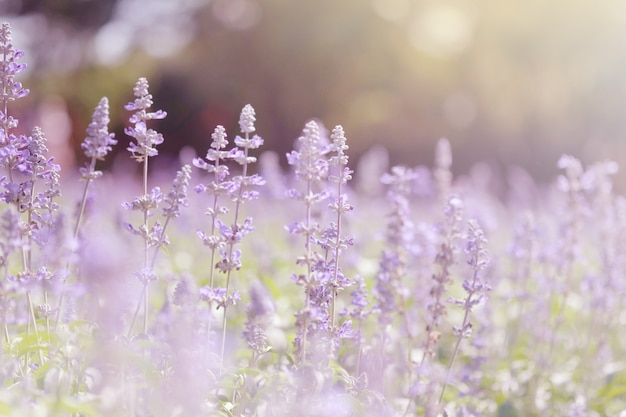 紫色のラベンダー畑をソフトフォーカスします。パステルカラーとぼかしの背景美しい色紫色のラベンダーの花。