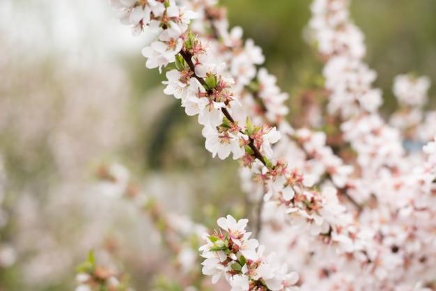 桜の木、自然の時間の背景。ピンクホワイトの桜の花