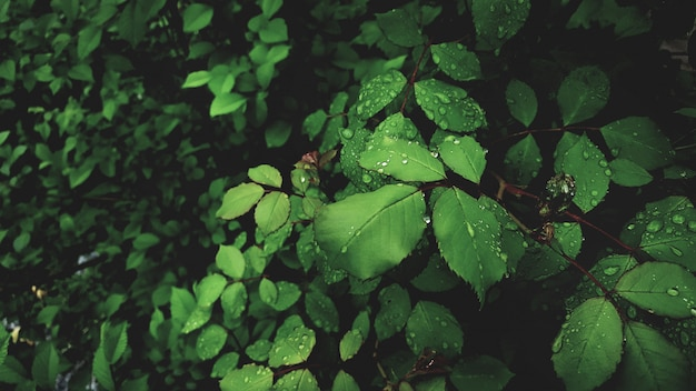 Капли росы на ярко-зеленых листьях розы