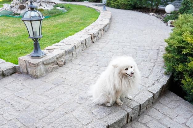 Милая дружелюбная белая собака шпица гуляя в парк в теплом весеннем дне. животное фон