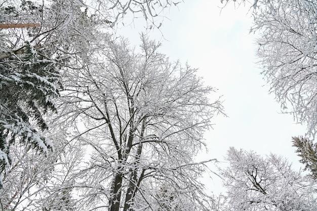 雪の下で冬の松林、