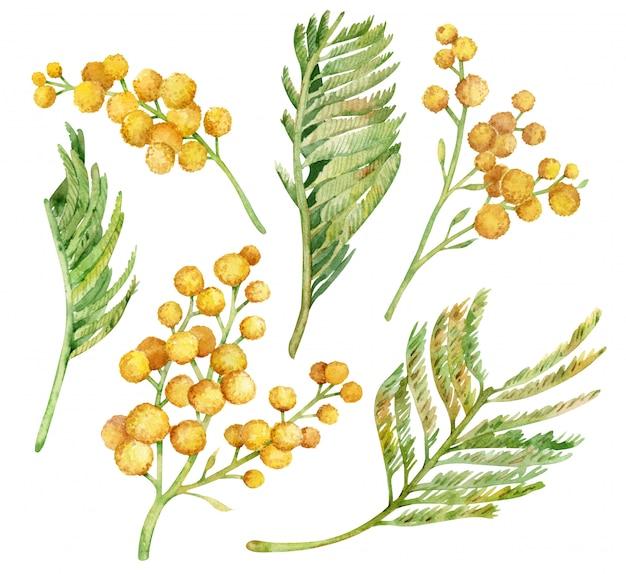 Акварель коллекция желтых ветвей куста мимозы, изолированных на белом