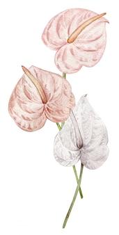 Акварельный румянец розовых и белых тропических антуриумов
