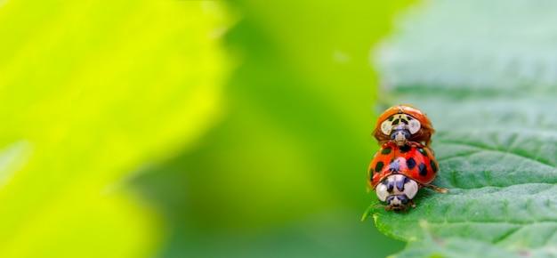 Два жука-божья коровка совокупляются по краю зеленого листа, на малой глубине резкости селективного внимания