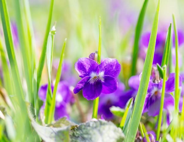 春の朝に野生の花スミレと日当たりの良い芝生