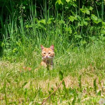 春や夏の朝に緑の芝生で赤い猫