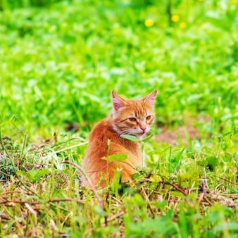 春や夏の朝に緑の芝生で生姜猫