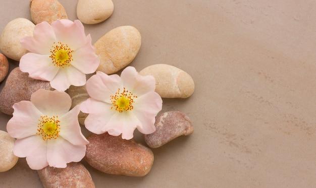 Три розовых цветка дикой розы на гальке на сером фоне, с пространством для размещения информации. спа камни лечение сцены, дзен, как концепции. плоская планировка, вид сверху