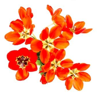 白い背景で隔離の開いた芽と赤いチューリップの花束