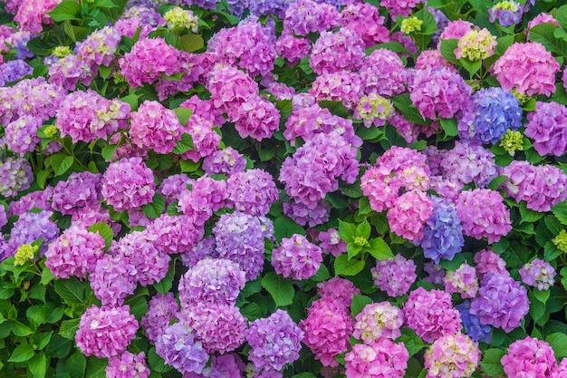 パステルピンクとブルーの咲くアジサイの花の色鮮やかな花