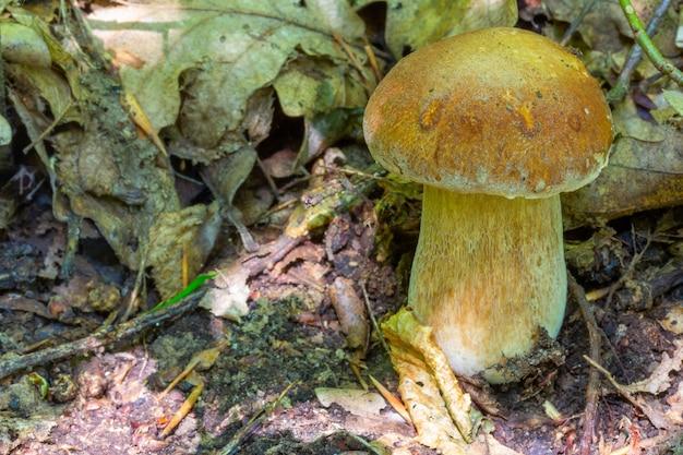 森の夏の朝を食用の白いキノコのポルチーニを閉じる