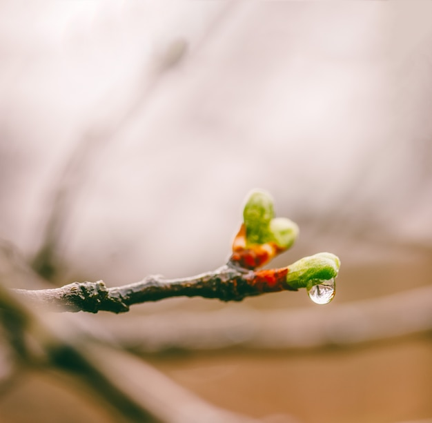 梅の木の枝に春の雨の滴で若い緑の葉を開花