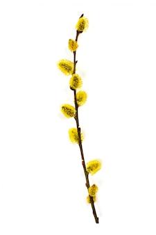 白い背景に分離された開花柳の小枝