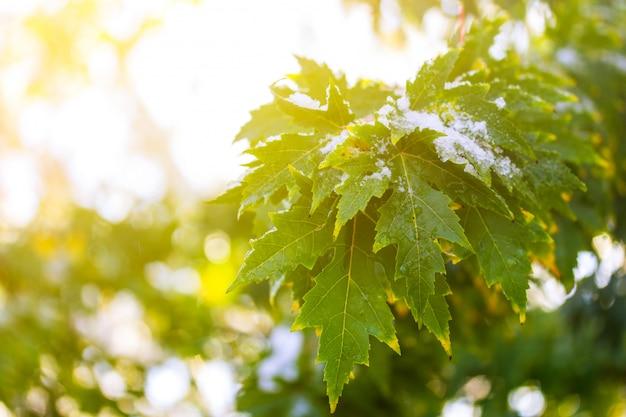 昇る太陽の光線で雪の中で緑の葉とメープルの木の枝