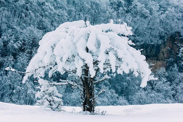 山の斜面に雪で覆われた野生のリンゴの木
