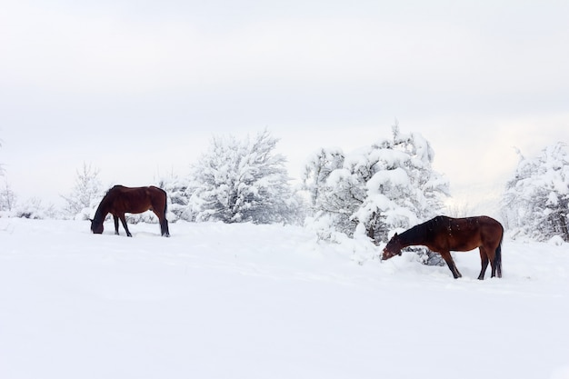 Зимний пейзаж с коричневыми лошадьми на зимнем пастбище
