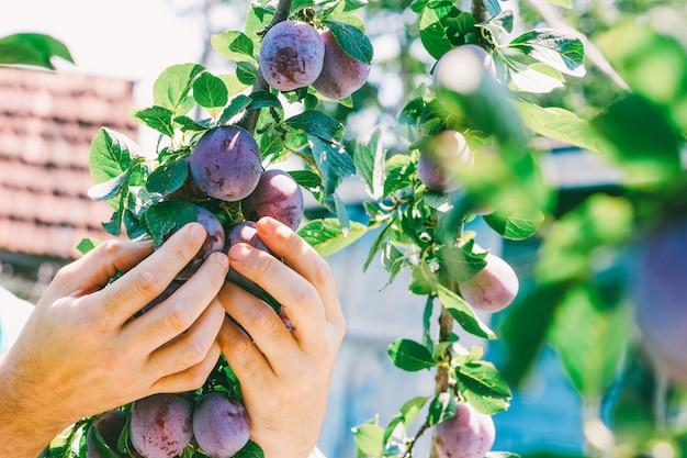 Мужской рукой урожай спелых слив в жаркий летний день.